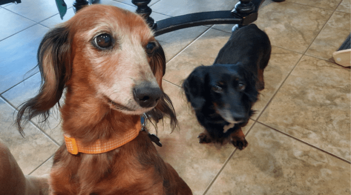 Dachshund Pair Little Bear and Taylor