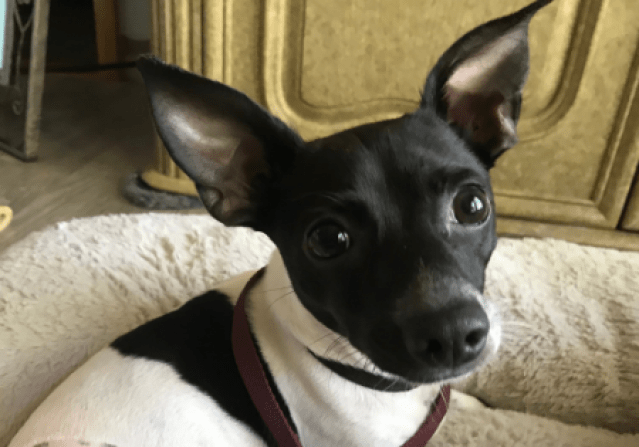 Adoptable Doxie Chihuahua Mix