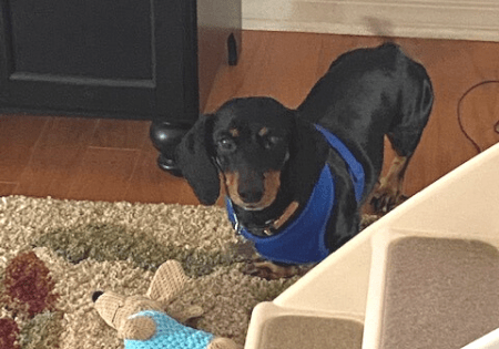 Adoptable Dachshund Hunter