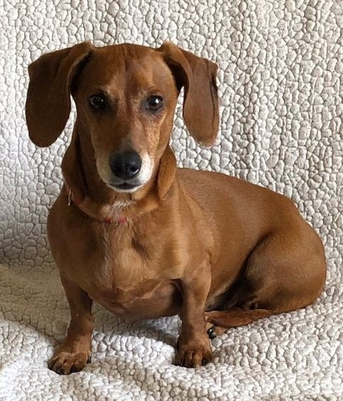 Adoptable Doxie Salome