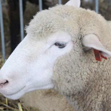 Coopworth Sheep.
