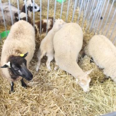 Shetland Sheep.