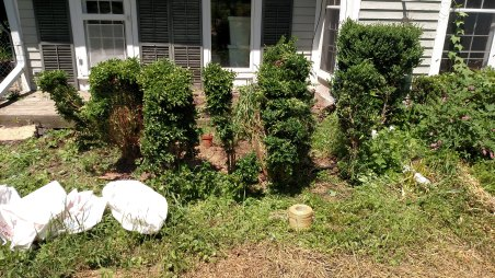 Removing boxwoods from the area for solar panels and herb beds.