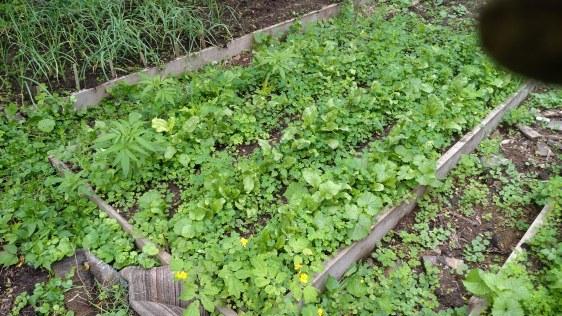 Overgrown beets.