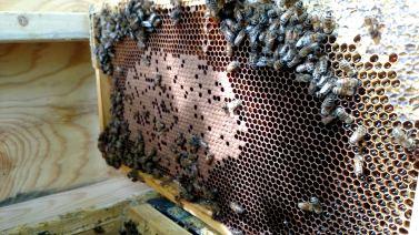 Bee brood (larvae).