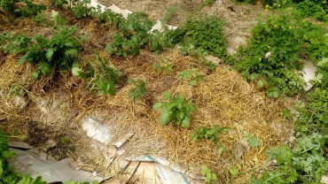 Potatoes after weeding and hilling.