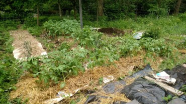After weeding and hilling.