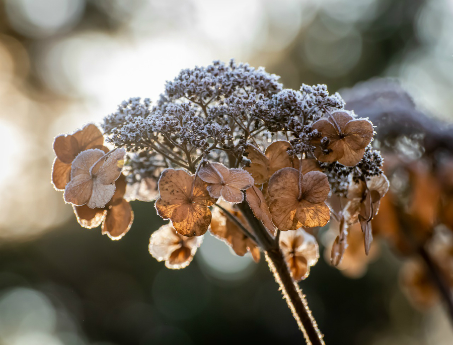 Hydrangea in winter with dead flower head