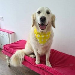 White dog wearing yellow bandana