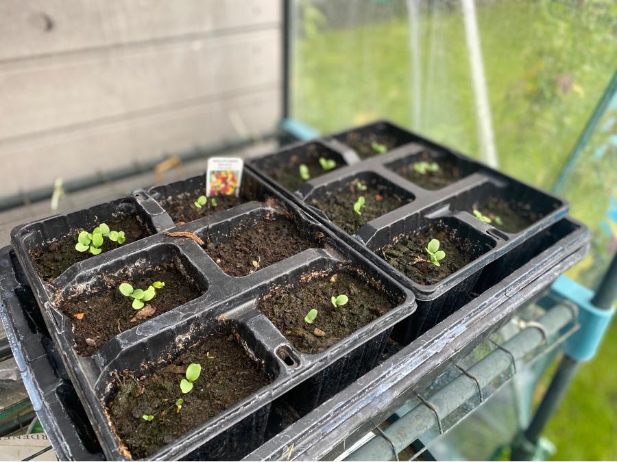 Wallflower seedlings in a seed tray