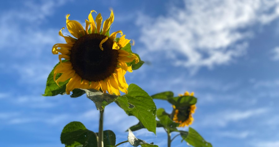 Sunflowers against a blue sky with whispy white clouds