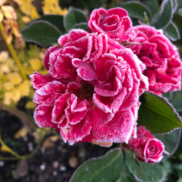Pink rose covered in frost