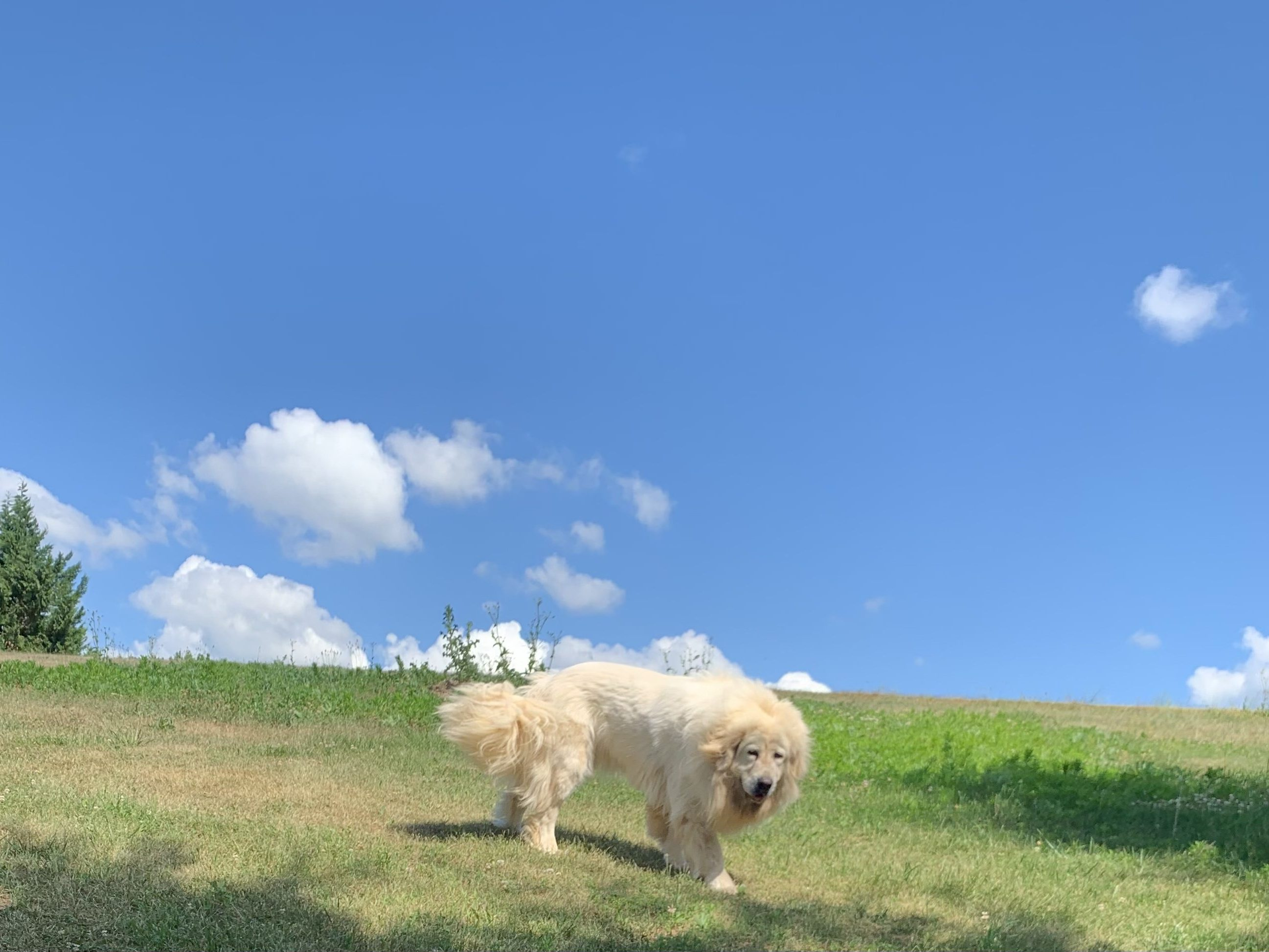 Loyal Tibetan Mastiffs
