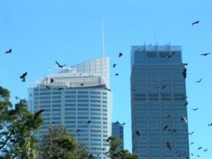 Flying Fox Bats Sydney, Australia