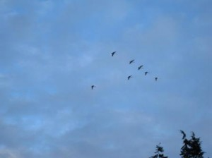 Trumpeter Swans over Stanley Park Vancouver