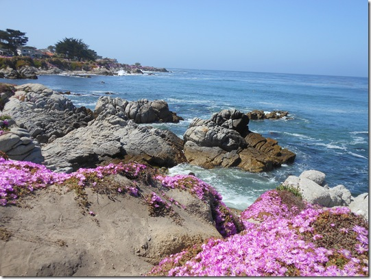 Pacific Grove iceplant 051