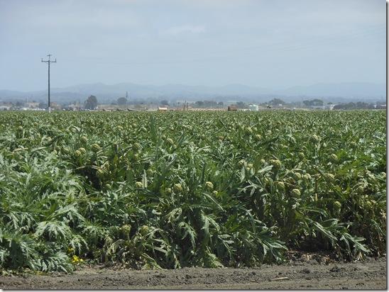 castroville artichokes 040