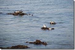 Harbour seals at Hopkins