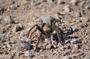 Tarantula Death Valley
