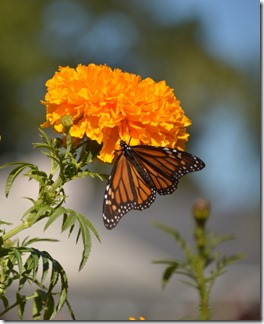 Monarch-7