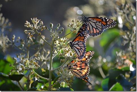 Monarchs-9