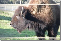 GGP bison-1