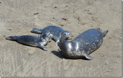 Seal pups-3