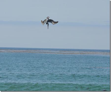 pelican dive