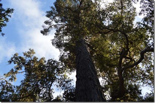 Monterey pine-2