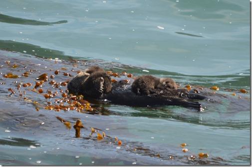 Sea otter twins-4