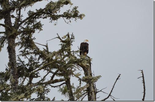 Tin-Wis bald eagle