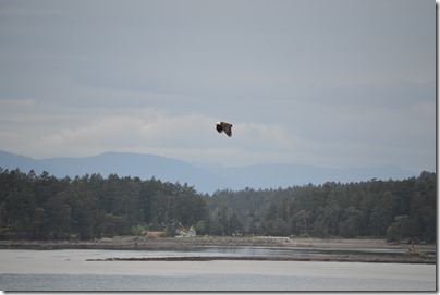 Swartz Bay bald eagle