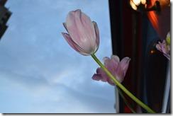Victoria tulip