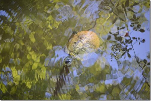 Congaree turtle