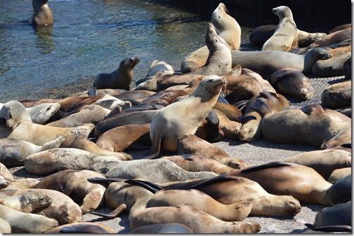 Monterey Sea lions