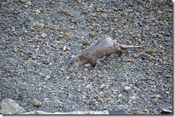 river otter-2