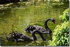 Regent's Park Black Swans