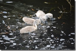 Too Cute cygnets