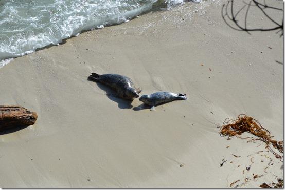 Seal Pup-1