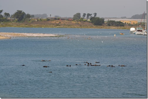 Sea otter raft