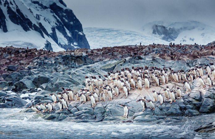 A flock of Gentoo Penguins on the rocks in Antarctica.