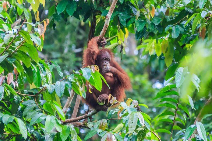 An orangutan eats while sitting in the tree tops in Borneo