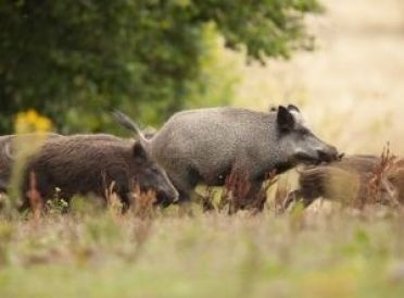 How To Get the Most Out of Hunting Feral Hogs