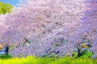 桜と菜の花のイメージ