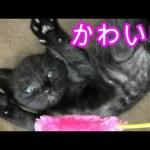 ねこじゃらしに群れる子猫3匹が可愛い。【ねこ実況】[ゲーム実況by冒険者ルーン]