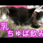 子猫3匹、ひたすら母乳をちゅぱ飲みする【ねこ実況】[ゲーム実況by冒険者ルーン]