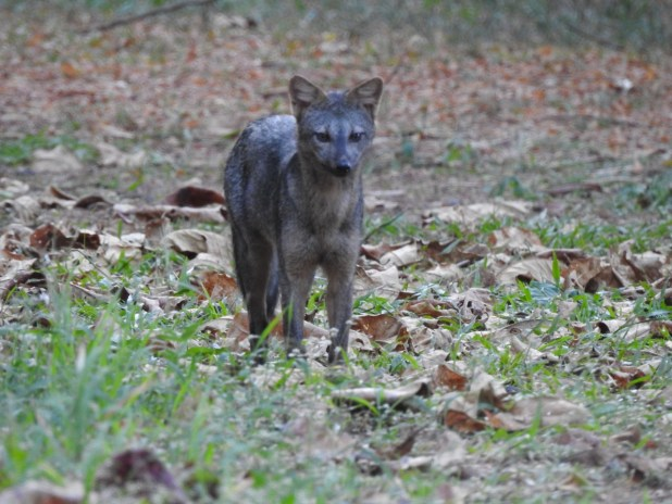 A4 Cachorro do mato - Biólogo Marcelo R.F. de Oliveira, Parque Municipal da Fazenda15-06-2020]