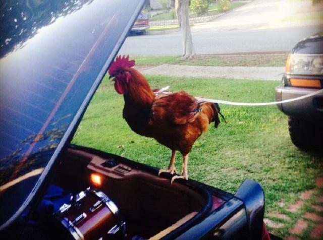 ls1tech.com craigslist find of the week third gen camaro Z28 IROC-Z pet chicken