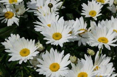 Daisies, Beaumaris