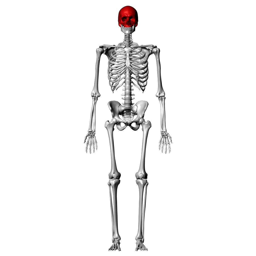 Skeleton Diagram Labeled Quiz
